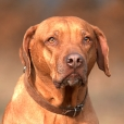Rhodesian Ridgeback, 2 years, Wheaton